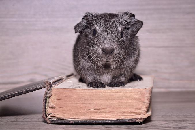guinea pig bible